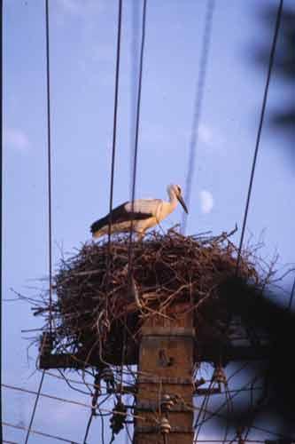 Romania,August 1999 - Nesting Stork