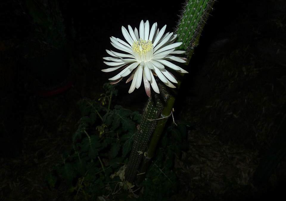 Night-blooming Cereus Rides Again