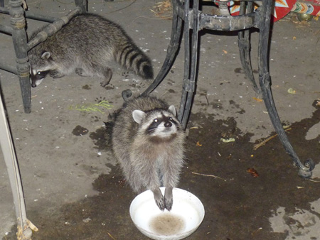 Raccoons in the cat's water bowl