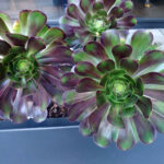 Aeonium at Cedar-Sinai sculpture garden